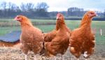 """Einladung zum """"Almauftrieb der Hühner"""" mit Ochsenschläger`s Wanderhühnern am 21.03.2015, 10:00Uhr"""