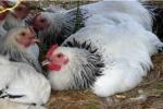 Tiere in der Landwirtschaft: Hennen behalten denSchnabel